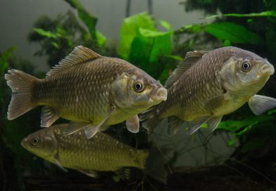 caras salbatec pescuit selectie caras la feeder
